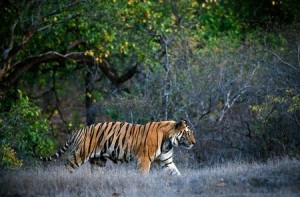 A huge male tiger walking in the jungles of Bandhavgarh National Park, India