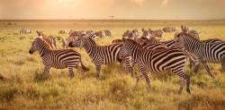 Tanzania_maasai_mara_parkland_zebras_thg-130918_33x16_1600