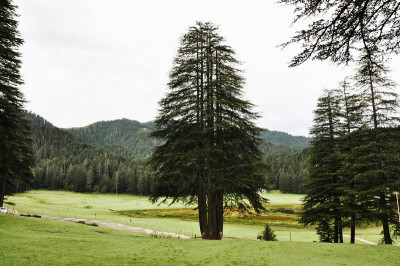 Panch_Pandav_Tree_Khajjiar