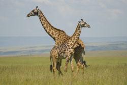 giraffes_in_masai_mara